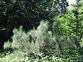 Spartium junceum in Odessa Botanical garden.jpg