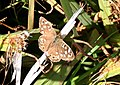 Speckled Wood butterfly (Pararge aegeria) - geograph.org.uk - 1470361.jpg