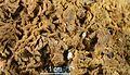 SphalériteAngleterre(Cumberland)RefMGL38827 MuséumHistoireNaturelleLille GLAM2016 Photo.F.Lamiot 1.jpg