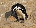 Spheniscus demersus (6337848688).jpg