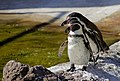 Spheniscus humboldti (Humboldt penguin).jpg