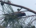 Spice Finch. Lonchura punctulata. nest building - Flickr - gailhampshire.jpg