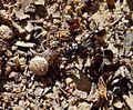 Spider ( Theridiidae^) versus Wasp. - Flickr - gailhampshire.jpg
