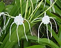 Spider Lily. Hymenocallis species Amaryllidaceae - Flickr - gailhampshire.jpg