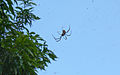 Spider in Roma Street Parklands, Brisbane (3366369408).jpg