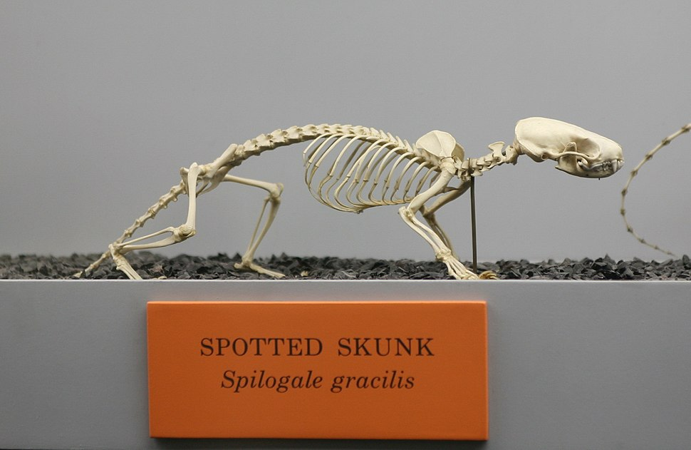 Spilogale gracilis skeleton