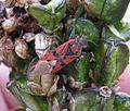 Spilostethus pandurus - Flickr - S. Rae (1).jpg