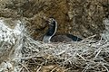 Spotted Shag - Picton - New Zealand (24297405917).jpg