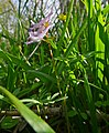 Spring Fumewort (Corydalis solida) (17006341467).jpg