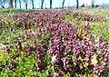 Spring plants Poznan Winiary (1).jpg