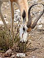 Springbok portrait, Etosha National Park.jpg