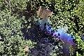 Sprinkler bow with Anticrepuscular rays.jpg