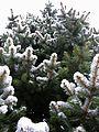 Spruce-tree-blue-spruce-spring1 - West Virginia - ForestWander.jpg