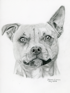 Hand-drawn portrait of a Staffordshire Bull Terrier. She is very adorable and has a floppy ear.