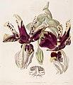 Stanhopea tigrina -Edwards vol. 25 pl. 1 (1839).jpg