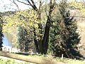 Starý strom v Zámeckém parku Kyselka 1.jpg