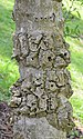 Star Magnolia Magnolia stellata Trunk Bark.JPG