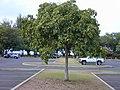 Starr-010206-0224-Cordia subcordata-habit-Kanaha Beach-Maui (24448734441).jpg