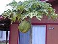 Starr-010404-0608-Carica papaya-large fruit-Lahaina-Maui (23905351773).jpg