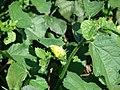 Starr-061111-1577-Hibiscus ovalifolius-flower bud and leaves-Pukalani-Maui (24751040682).jpg