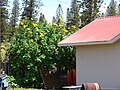 Starr-070403-6478-Tithonia diversifolia-flowering habit-Lanai City-Lanai (24258523874).jpg