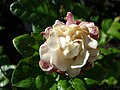 Starr-080103-1250-Jasminum sambac-flowers-Lowes Garden Center Kahului-Maui (24603889570).jpg