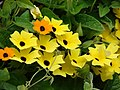 Starr-080716-9358-Thunbergia alata-cv Sundance yellow flowers-Enchanting Gardens of Kula-Maui (24897753926).jpg