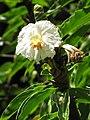 Starr-090702-2050-Costus speciosus-flower and leaves-Puaa Kaa Park Hana Hwy-Maui (24850390292).jpg