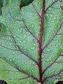 Starr-090801-3525-Beta vulgaris subsp cicla-leaf-Olinda-Maui (24852849582).jpg