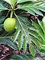 Starr-091104-8779-Artocarpus altilis-fruit and leaves-Kahanu Gardens NTBG Kaeleku Hana-Maui (24361190093).jpg