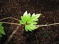 Starr-110209-0706-Cissus rhombifolia-leaves-Resort Management Group Nursery Kihei-Maui (24706761309).jpg