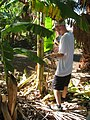 Starr-110627-6775-Musa x paradisiaca-Dwarf Brazilian habit with Brent conducting little fire ant Wasmannia auropunctata survey-Waihee-Maui (24801793350).jpg