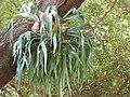 Starr-120522-6016-Platycerium sp-in tree-Iao Tropical Gardens of Maui-Maui (24511317744).jpg