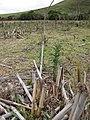 Starr-120608-7309-Cenchrus purpureus-outplanted and grazed-Ulupalakua Ranch-Maui (24777597279).jpg