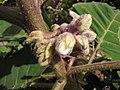 Starr-121108-0735-Solanum quitoense-flowers-Pali o Waipio-Maui (24569239963).jpg