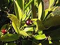 Starr-130304-2011-Eugenia brasiliensis-fruit and leaves-Montrose Crater Rd Kula-Maui (25112964501).jpg