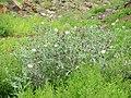 Starr-130809-2974-Argemone glauca x mexicana-perhaps flowering habit-Kula-Maui (24964303530).jpg