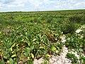 Starr-130913-1159-Nicotiana tabacum-flowering habit view dead coconuts-NW Lake-Laysan (25105626762).jpg