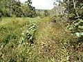 Starr-140909-1693-Mimosa pudica-habit-Wailua-Maui (25152567011).jpg
