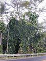 Starr 011205-0040 Thunbergia grandiflora.jpg