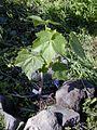 Starr 020112-0014 Hibiscus brackenridgei subsp. brackenridgei.jpg