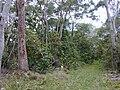 Starr 020501-0052 Cinchona pubescens.jpg