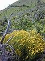 Starr 020622-0048 Bidens micrantha subsp. kalealaha.jpg