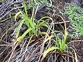 Starr 031210-0106 Cyperus phleoides.jpg