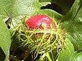 Starr 040410-0025 Passiflora foetida.jpg