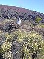 Starr 040813-0212 Leptecophylla tameiameiae.jpg