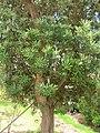 Starr 050719-2909 Banksia integrifolia.jpg