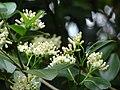 Starr 061105-1332 Psydrax odorata.jpg