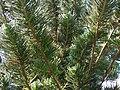 Starr 061206-1996 Araucaria columnaris.jpg