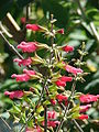 Starr 080219-2985 Salvia sp..jpg